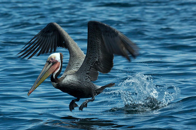 March 2012 Brown Pelicans were everywhere in Bahia Magdalena. photo by Bryan http://oneeyeblink.smugmug.com/