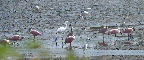 June 2012 Yugo Estuary  Rosette spoonbills, great egret in the middle, little egret in the foreground, 3 ibises in the background.