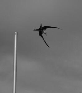 Mazatlán January 2013  Frigatebird